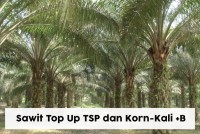 Sawit Top Up TSP dan Korn-Kali+B