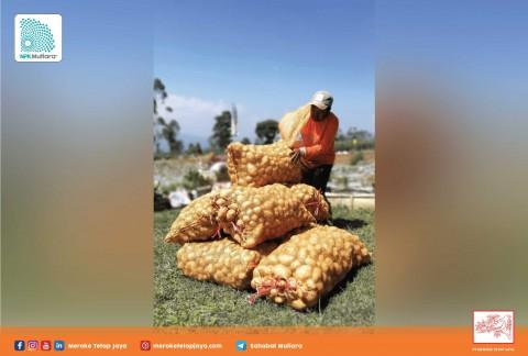 Tingkatkan Kuantitas dan Kualitas Kentang dengan Produk PT Meroke Tetap Jaya