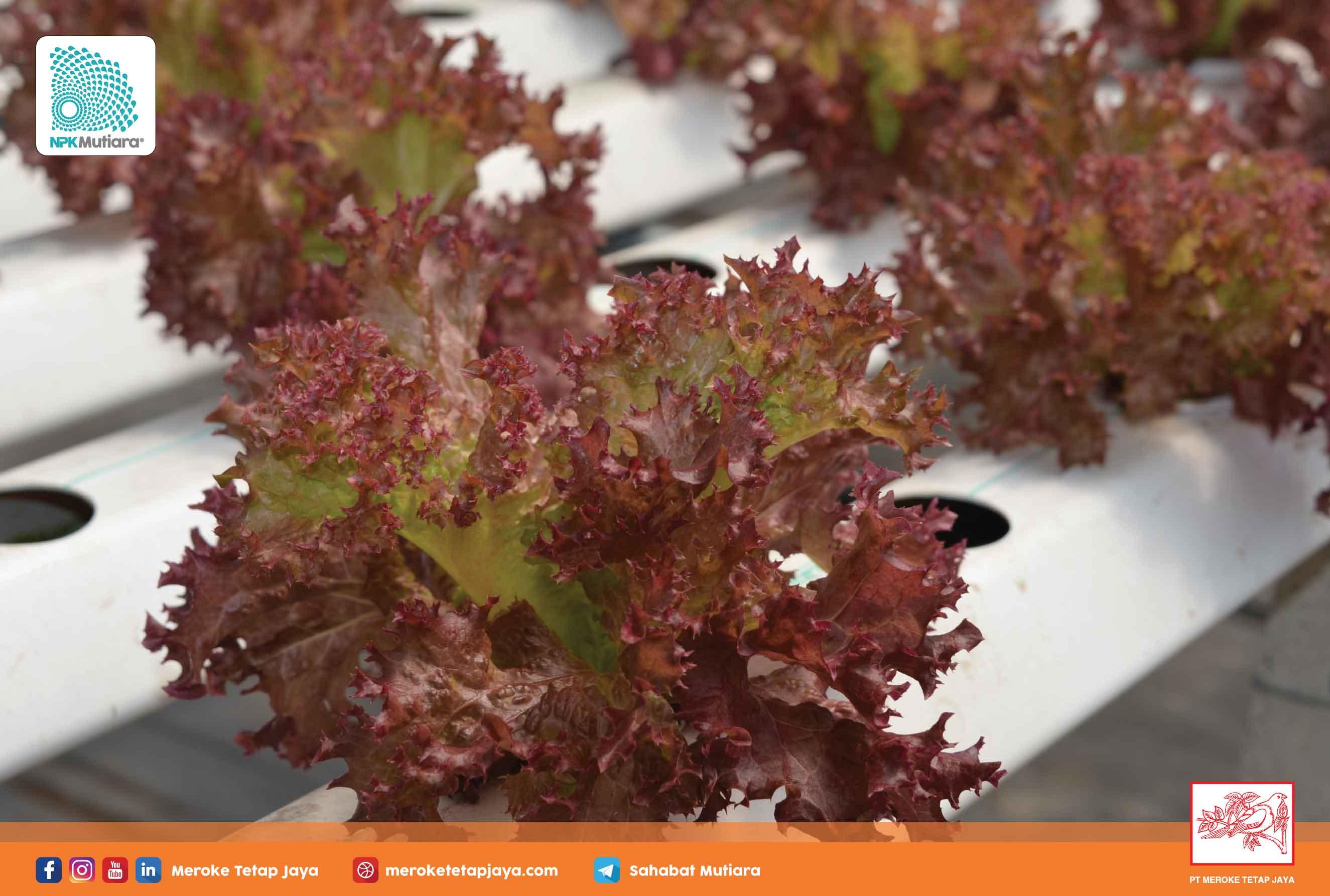 Hidroponik adalah Pertanian Organik atau Anorganik?