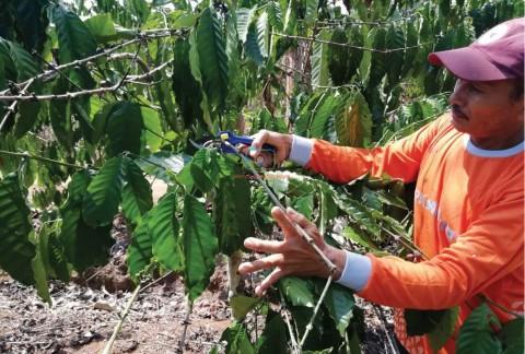 Pemangkasan, Permudah Nutrisi Bergerak pada Tanaman Kopi
