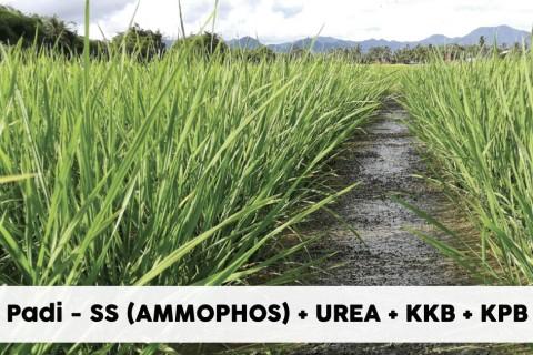 Padi SS AMMOPHOS + UREA + KPB + KKB