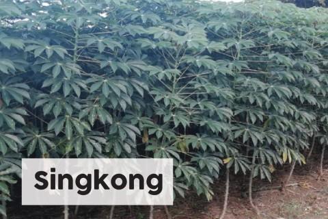 Singkong